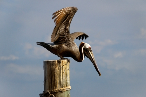 Brown_Pelican_at_Ponce_Inlet_-_Flickr_-_Andrea_Westmoreland